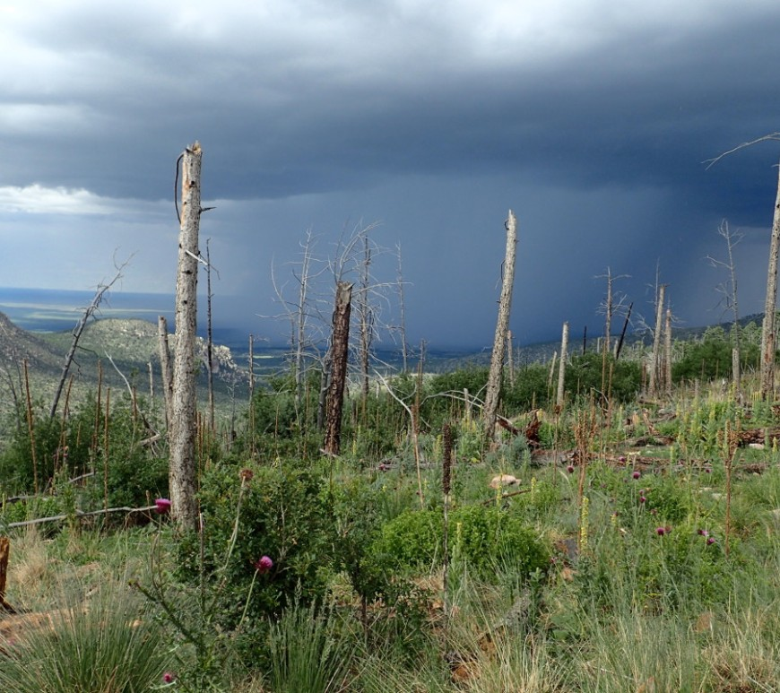 An image from the 2004 Peppin Fire on the Lincoln National Forest, New Mexico, taken 12 years following the fire. The photo shows an area previously dominated by conifer forest that is now dominated by resprouting shrubs, grasses, and exotic plants. This site exemplifies the potential for changes in dominant vegetation following high severity fires. Notice that live conifer trees that could act as a seed source are not visible. It is unclear if eventually this site will return to forest, but no pine or fir seedlings were found at this site when the photo was taken. Image credit: K. Davis
