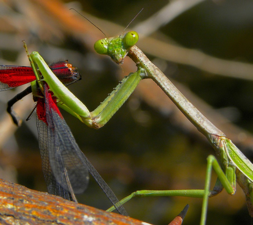 Mantid (Stagmomantis sp.) eating a mature male rubyspot (Hetaerina americana). The red wing spot is a sexually selected trait evolved by male-male competition. The pigments behind this conspicuous and costly red colouration are ommochromes, produced from the toxic tryptophan metabolite 3-HydroxyKinurenine. Hence, only males capable of storing large toxic amounts, are able to produce a large red spot. This mechanism is entirely new for colourful and other sexual traits, elucidating a mechanism for the evolution of honest indicators of quality that could have arisen due to natural selection.